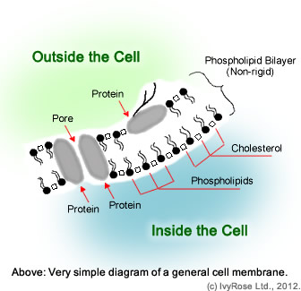 Functions of the Cell Membrane
