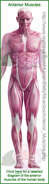 Anterior Muscles in Human Body Diagram