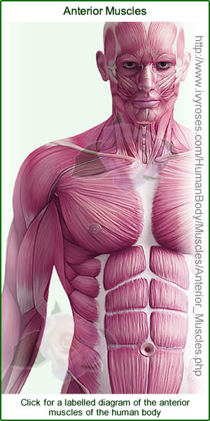 Labelled diagram of the anterior muscles of the human body.