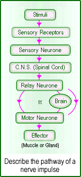 What is the path of a nerve impulse ?