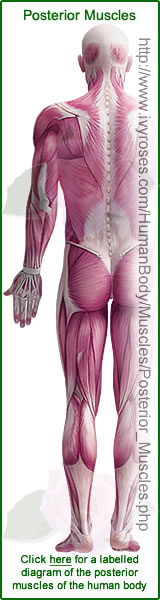 Posterior Muscles of the Human Body
