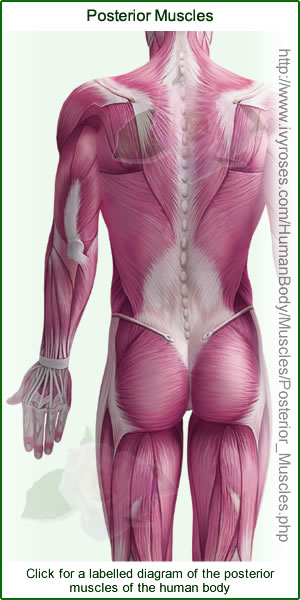 Posterior Muscles of the Human Body Diagram