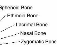 cranial and facial bones - skeletal system, Cephalic Vein