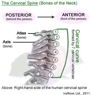 Human neck bone anatomy human neck bone anatomy photo10 ccuart Images
