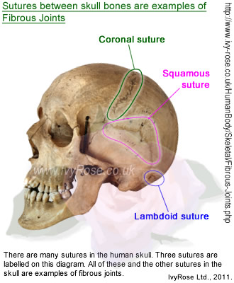 Sutures between bones in the skull are examples of fibrous joints