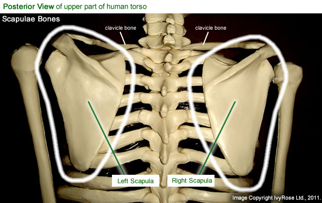 Picture To Label Of Human Scapula Postpomate41s Soup