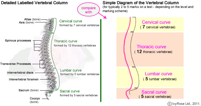 Worksheets Vertebral Column Worksheet vertebral column