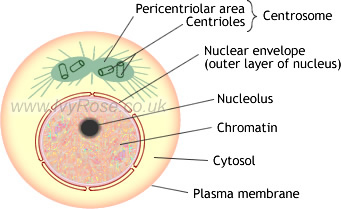 E Liberary Pakistan Diagram Of Mitosis