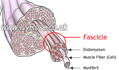fascicle : anatomy of muscle structure, Muscles
