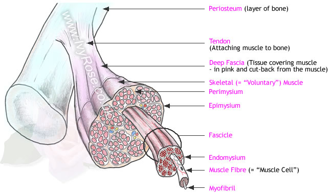 a description of the various types of skeletal muscle architecture in a human body About half of your body's weight is muscle muscle tissue is categorized into three distinct types: skeletal, cardiac, and smooth.