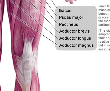 anterior muscles of the human body, Muscles