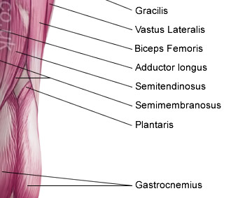 Diagram Skeletal Muscles The Human Body Anterior View