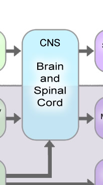 Organization of the nervous system diagram of the organization of the nervous system ccuart Image collections