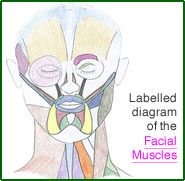 Facial Muscles - Test Yourself Diagram
