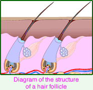 The Structure of a Hair Follicle
