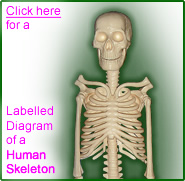labelled diagram of a human skeleton