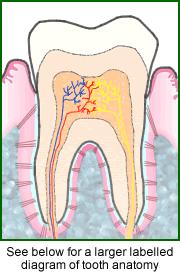 Tooth anatomy ccuart Choice Image