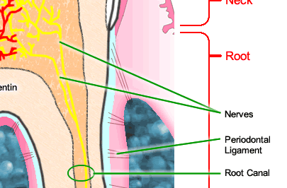 Tooth anatomy diagram of tooth anatomy ccuart Images