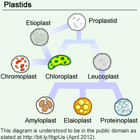 Different Types of Plastids