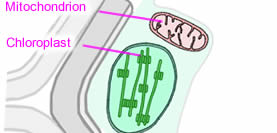 Plant cell structure as biology diagram of a plant cell ccuart Images