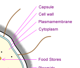The following table lists parts of a prokaryotic cell note