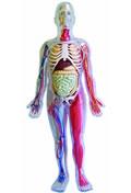 Human Body Model Kit