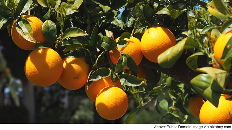 Citrus fruits contain vitamin C