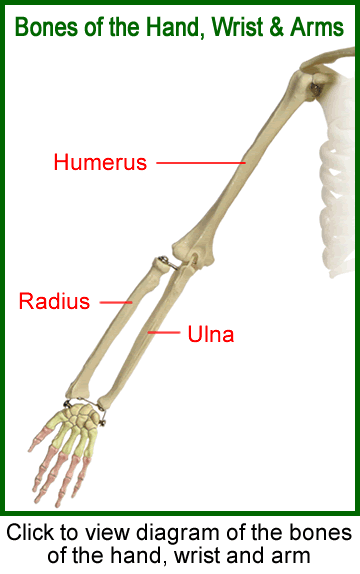 humerus (bone), Human Body