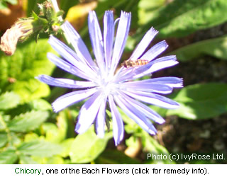Chicory is one of the flowers used to make a Bach Flower Remedy