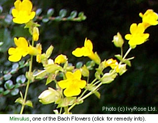 Mimulus is one of the flowers used to make a Bach Flower Remedy