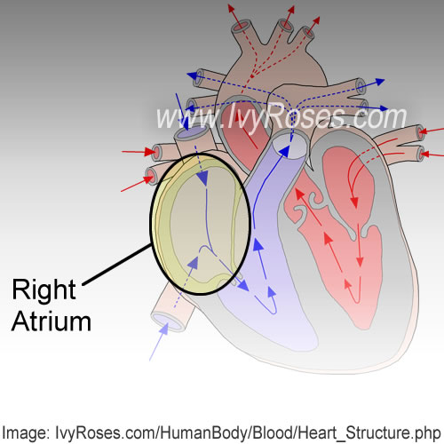 heart and right atrium The right atrium is one of the four hollow chambers of the interior of the heart it is  located in the upper right corner of the heart superior to the right ventricle.