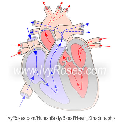 the structure of the heart - vascular system, Cephalic Vein