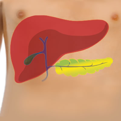 Functions Of The Liver Part Of The Digestive System
