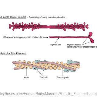 The Structure of Muscle Filaments - Diagrams of the Thick ...