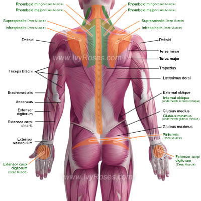 posterior muscles of the human body, Muscles