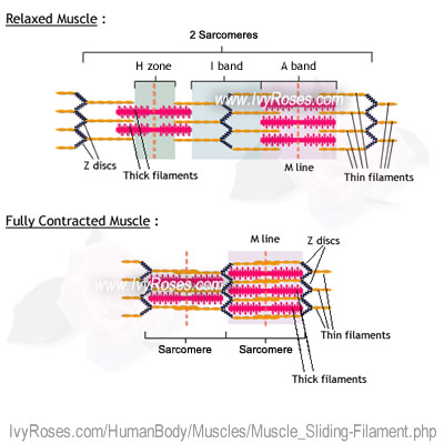 how to draw a sarcomere