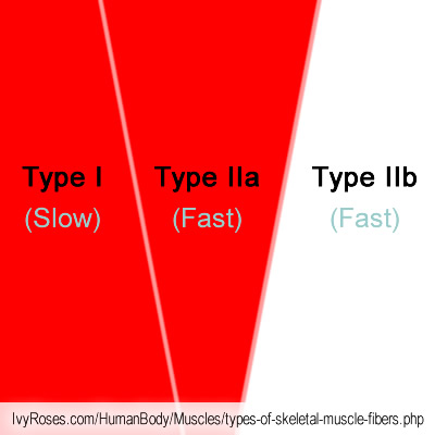 types of skeletal muscle fibres, Muscles