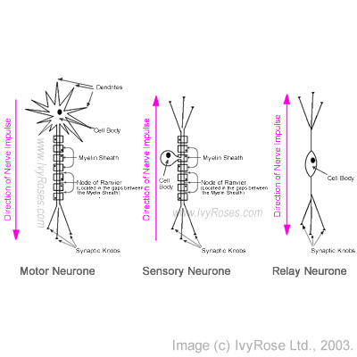 Neurones structures functions ccuart