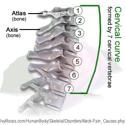 Diagram of the neck bone information of wiring diagram neck pain neck problems and neck pain causes rh m ivyroses com head and neck anatomy bones bones in neck and shoulder ccuart Image collections