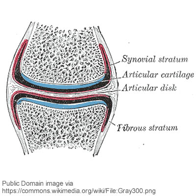 structure of synovial joints, Sphenoid