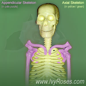 axial and appendicular skeleton, Skeleton
