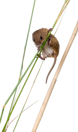 Harvest Mouse News
