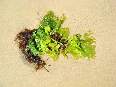 A small bunch of various different types of seaweed found on a beach in Dorset, England.