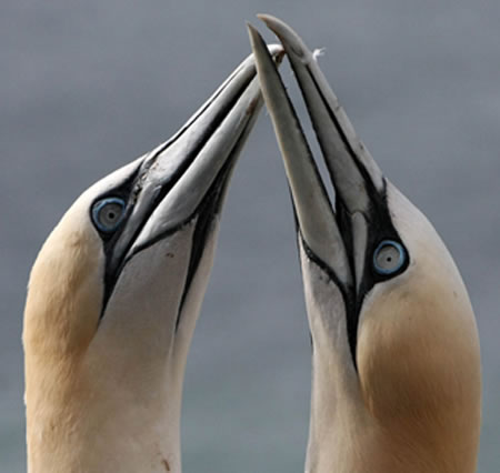 Individual gannets do not depend on specific feeding sites