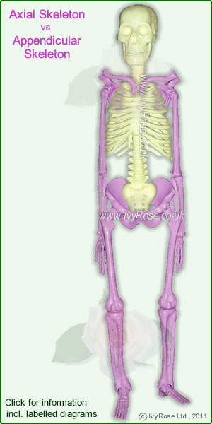 Axial vs Appendicular Skeleton