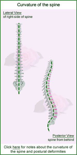 Curvature of the Human Spine