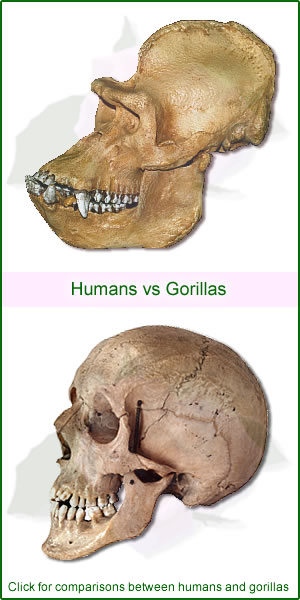 Compare humans with gorillas