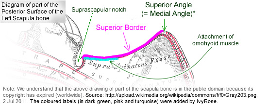 Diagram of the superior border of the scapula bone