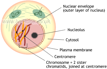 Diagram showing the role of microtubules in early prophase mitosis
