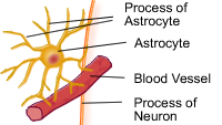 Astrocyte, located in the Central Nervous System (CNS)